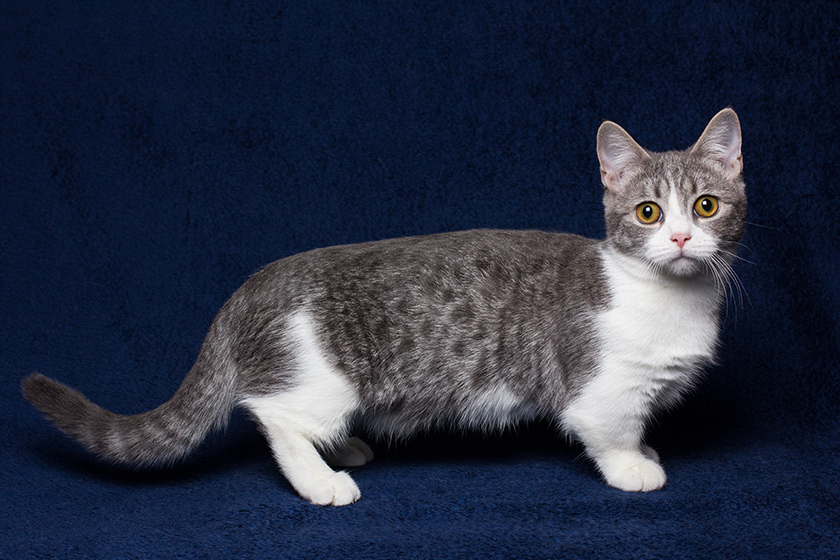Gatos-Munchkin-3