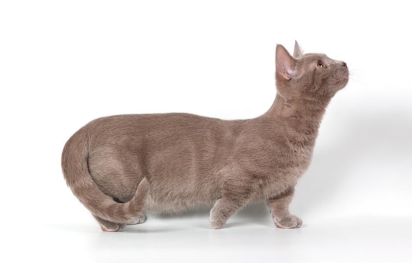 Gatos-Munchkin
