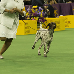 Westminster-Kennel-Club-perros