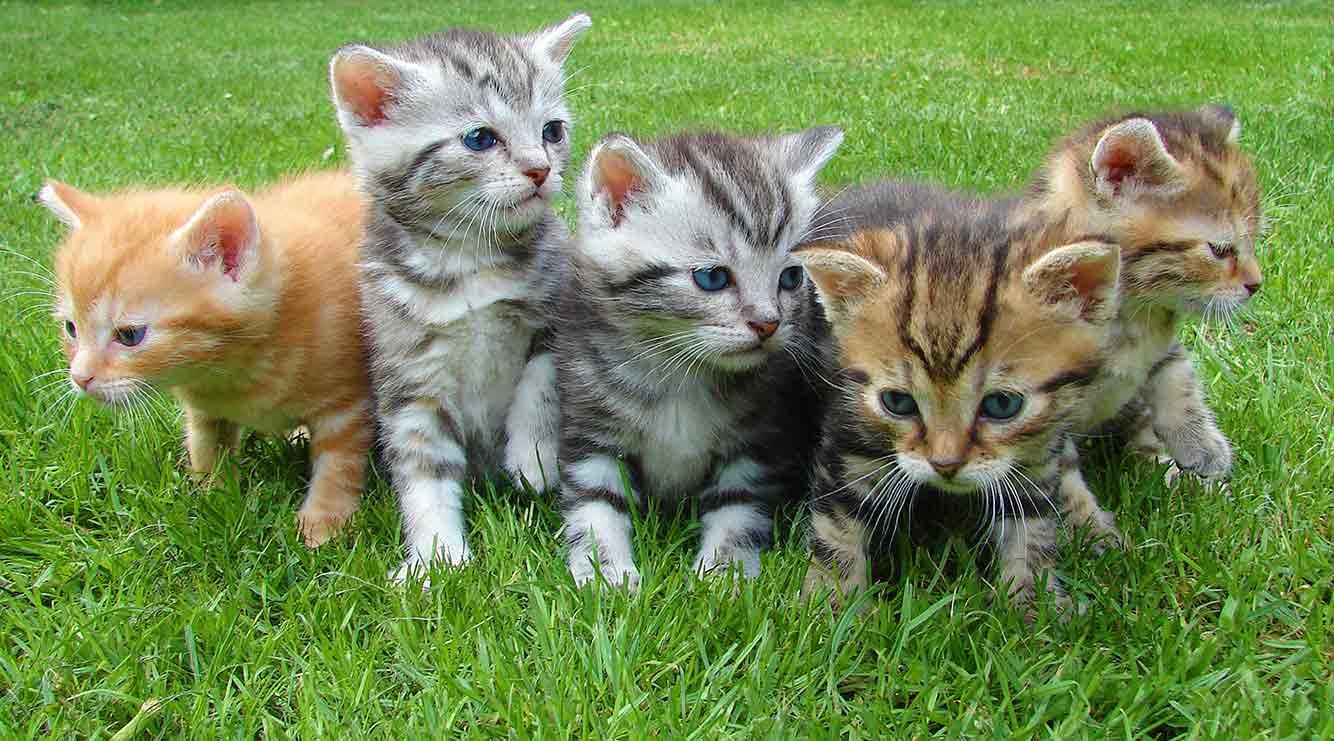 gatos-cachorro-aristogato