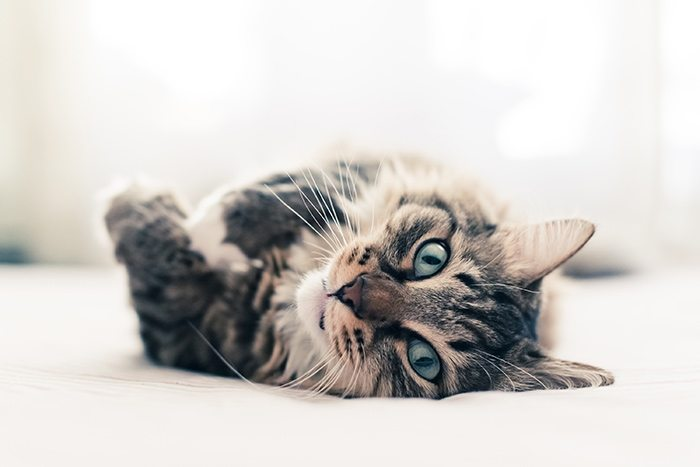 gato-tumbado-fondo-blanco