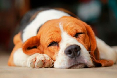 sueñan-perros1