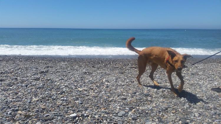 Dingo-en-la-playa-de-Granada-Motril