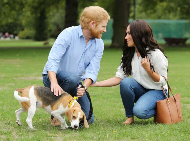 Meghan-Markle-beagle-Guy