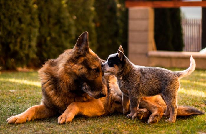 perro-grande-vs-perro-pequeño