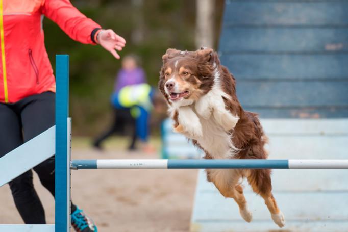 agility-perro